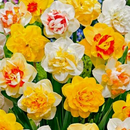 Narcise duble Mix - Bulbi de flori - AgroDenmar.ro