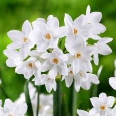 Narcise Paperwhite Ziva