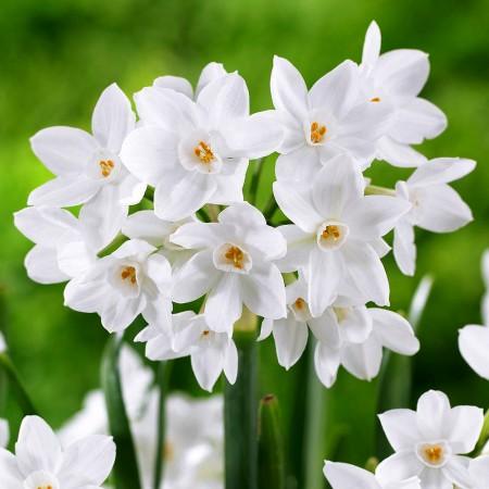 Narcise Paperwhite Ziva - Bulbi de flori - AgroDenmar.ro