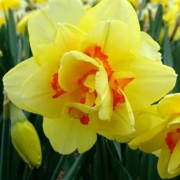 Narcise Tahiti - Bulbi de flori - AgroDenmar.ro