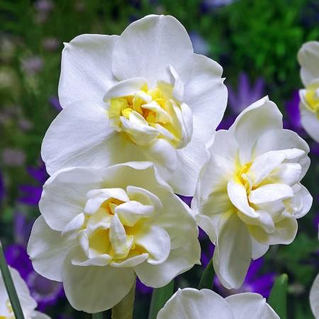 Narcise White Cheerfulness - Bulbi de flori - AgroDenmar.ro