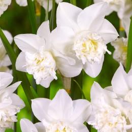 Narcise White Marvel - Bulbi de flori - AgroDenmar.ro