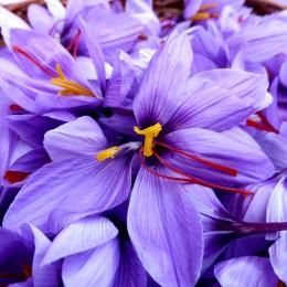Sofran - Crocus Sativus - Bulbi de flori - AgroDenmar.ro