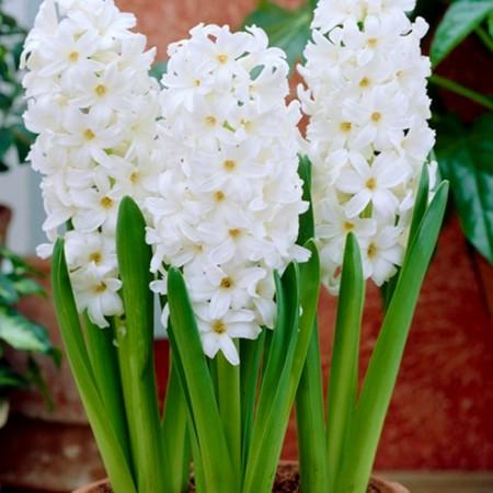 Zambile Aiolos - Bulbi de flori - AgroDenmar.ro