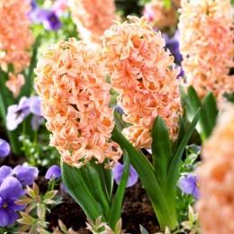 Zambile Gipsy Queen - Bulbi de flori - AgroDenmar.ro