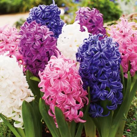 Zambile Mix - Bulbi de flori - AgroDenmar.ro