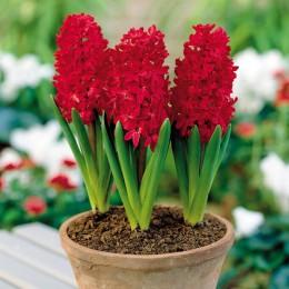 Zambile Red Glory - Bulbi de flori - AgroDenmar.ro