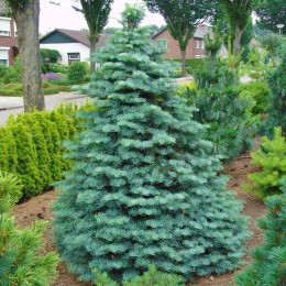 Abies Lasiocarpa Compacta - Conifere - AgroDenmar.ro
