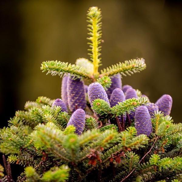 Brad Coreean in Ghiveci 50 - 150 cm - Conifere - AgroDenmar.ro