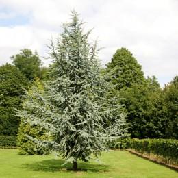 Cedru libanez glauca - Conifere - AgroDenmar.ro