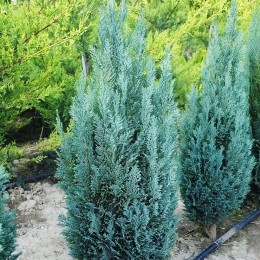 Chiparos albastru - Conifere - AgroDenmar.ro