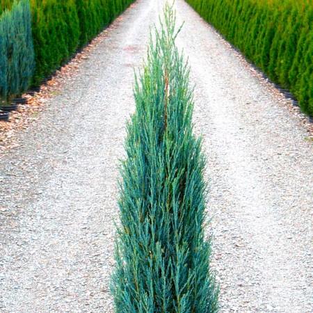 Ienupar Blue Arrow - Conifere - AgroDenmar.ro
