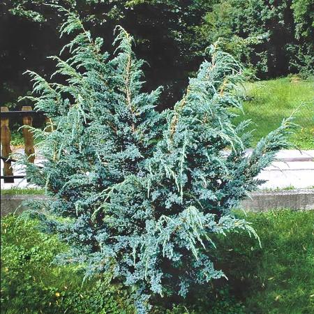 Ienupar chinezesc Blue Alps - Conifere - AgroDenmar.ro