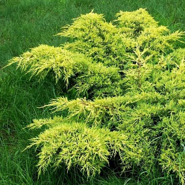 Ienupar Gold Coast - Conifere - AgroDenmar.ro