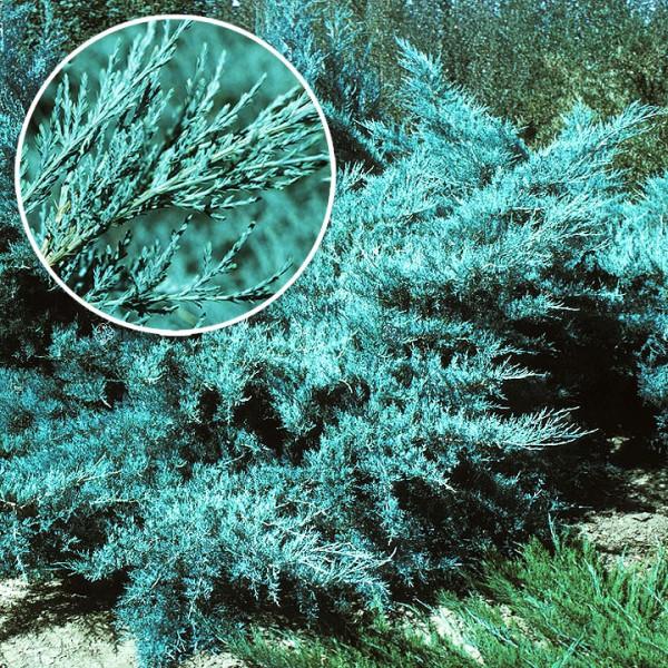 Ienupar Pfitzeriana Glauca - Conifere - AgroDenmar.ro