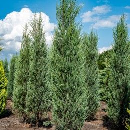 Ienupar Skyrocket - Conifere - AgroDenmar.ro