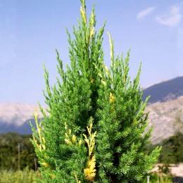 Ienupar Stricta Variegata - Conifere - AgroDenmar.ro