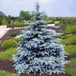 Molid argintiu Hoopsii - Conifere - AgroDenmar.ro