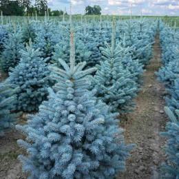 Molid Argintiu Super Blue - Conifere - AgroDenmar.ro
