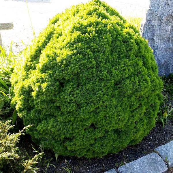 Molid globular Alberta Globe - Conifere - AgroDenmar.ro