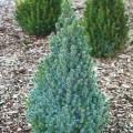 Picea glauca Sander's Blue - 20 cm