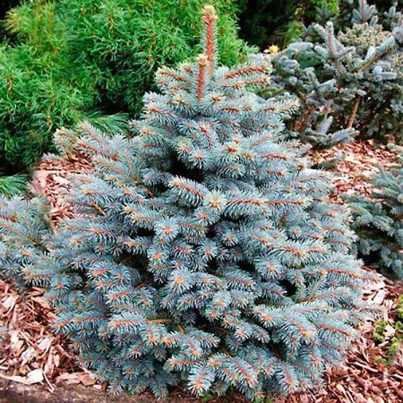 Picea pungens Royal Blue - Conifere - AgroDenmar.ro