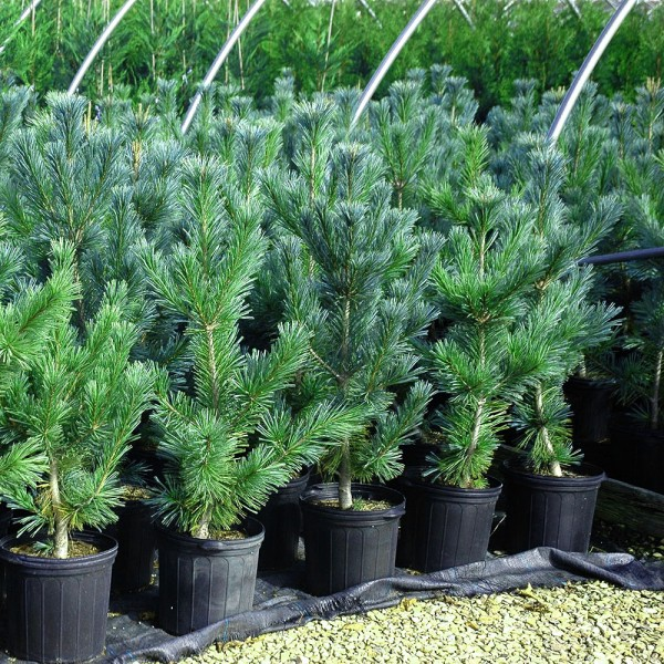 Pinus flexibilis Vanderwolf's Pyramid - Conifere - AgroDenmar.ro