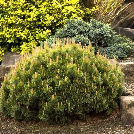 Pinus mugo pumilio - Conifere - AgroDenmar.ro