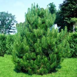 Pinus nigra - Conifere - AgroDenmar.ro