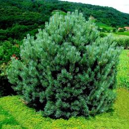 Pinus sylvestris Watereri - Conifere - AgroDenmar.ro