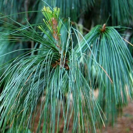 Pinus Wallichiana - Conifere - AgroDenmar.ro