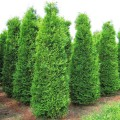 Thuja Occidentalis Brabant 160 cm