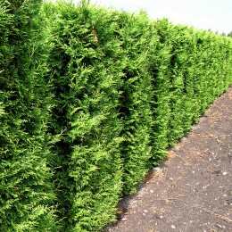 Thuja Occidentalis Brabant 50 cm