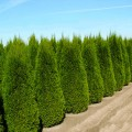 Thuja Occidentalis Columnaris 60 cm