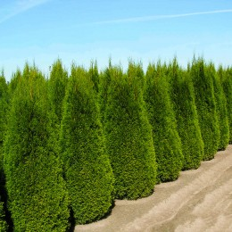 Thuja Occidentalis Columnaris - Conifere - AgroDenmar.ro