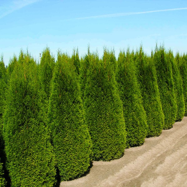 Thuja Occidentalis Columnaris 120 cm - Conifere - AgroDenmar.ro