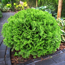 Thuja occidentalis Danica - Conifere - AgroDenmar.ro