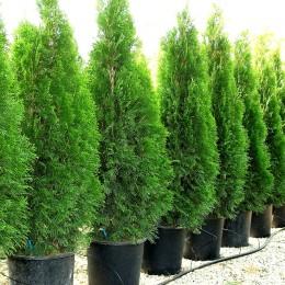 Thuja Occidentalis Fastigiata 120 cm - Conifere - AgroDenmar.ro