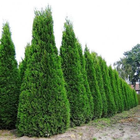 Thuja Occidentalis Fastigiata 160 cm - Conifere - AgroDenmar.ro