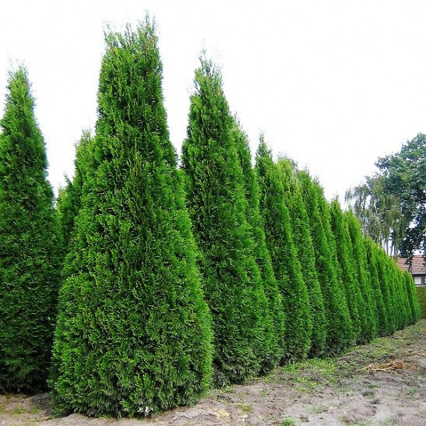 Thuja Occidentalis Fastigiata 160 - 180 cm - Conifere - AgroDenmar.ro
