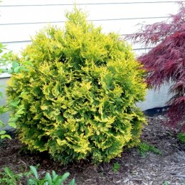 Thuja occidentalis Globosa Aurea