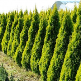 Thuja Occidentalis Golden Smaragd - Conifere - AgroDenmar.ro