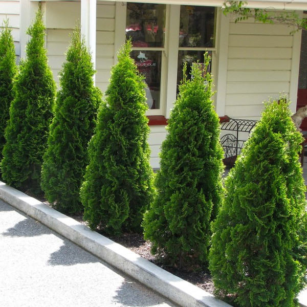 Conifere - Thuja Occidentalis Holmstrup