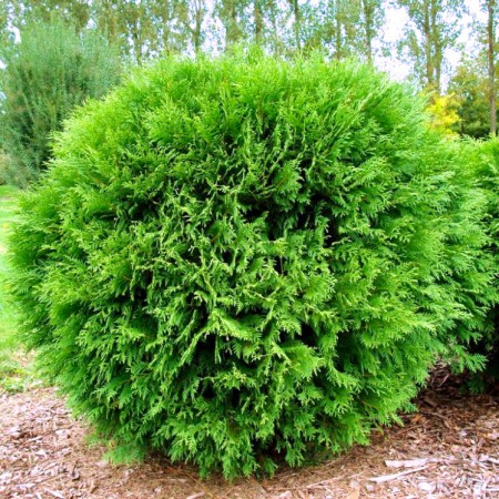 Thuja occidentalis Little Champion - Conifere - AgroDenmar.ro