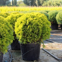Thuja Occidentalis Mirjam - Conifere - AgroDenmar.ro