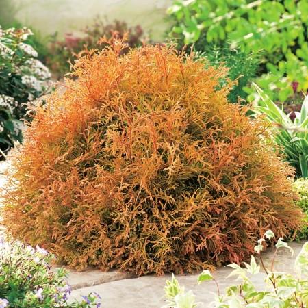 Thuja occidentalis Rheingold - Conifere - AgroDenmar.ro
