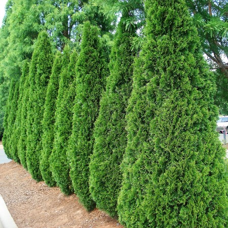 Thuja Occidentalis Smaragd 120 cm - Conifere - AgroDenmar.ro