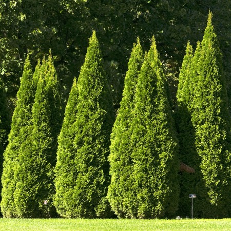Thuja Occidentalis Smaragd 120 - 160 cm - Conifere - AgroDenmar.ro