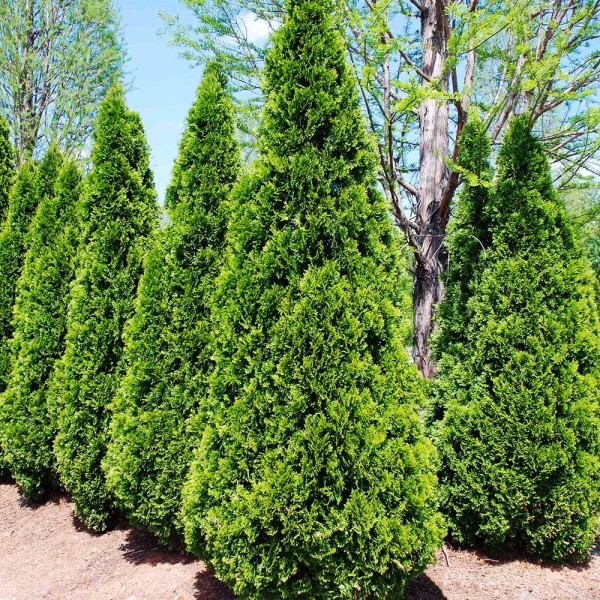 Thuja Occidentalis Smaragd - Conifere - AgroDenmar.ro