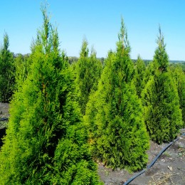 Thuja Occidentalis Smaragd 60 cm